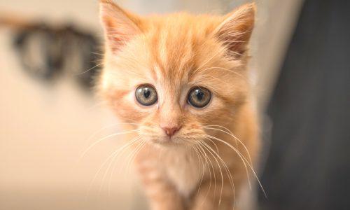 Kitten pack Ginger Kitten 3